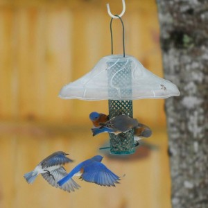 Bluebirds on suet nugget feeder.